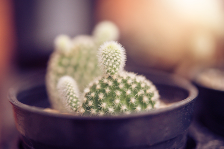 Cactus in a pot placed on a wooden floor light golden dawn.