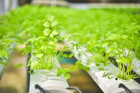 Biologische groentezaailingen Percelen biologische groenten op de boerderij Groenten telen zonder aarde Stockfoto
