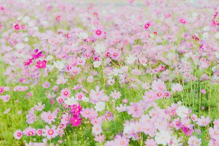 Pink cosmos bloom in the garden is beautiful Stock fotó