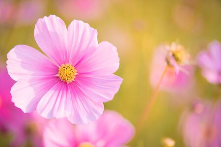 Pink cosmos bloom in the garden is beautiful Archivio Fotografico