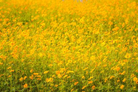 yellow cosmos bloom in the garden  Stock fotó