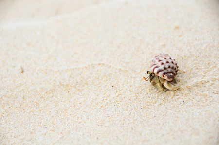 recluse: a helmet crab on the sandy beach