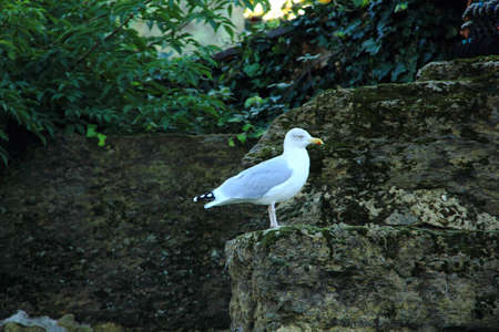 bird web footed: Seagull Perched on the Rocks