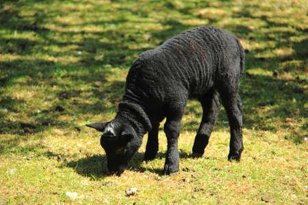 Black lamb grazing in a field photo