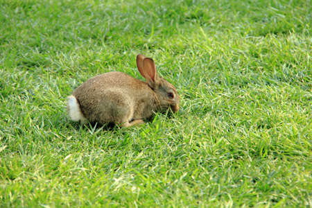 Rabbit lying in the grass
