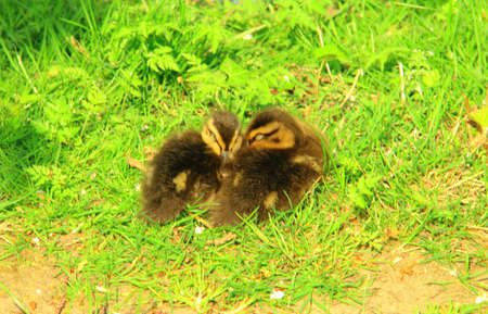Two sleeping ducklings on a grassy bank photo