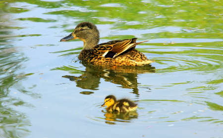yellow duck: Mother and duckling swimming on a lake