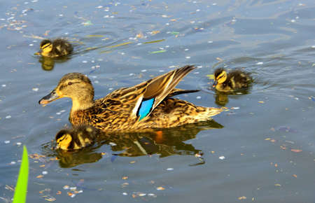 Mother and her ducklings swimming on a pond photo