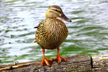 Duck sitting on a log Stock Photo