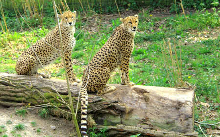 Cheetahs sitting on a log photo