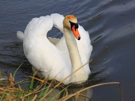 Swan swimming on the lake photo