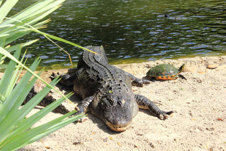 long and short scales: American alligator and terrapin basking in the sun by the waters edge