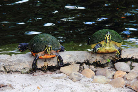 omnivores: Two terrapins by the waters edge