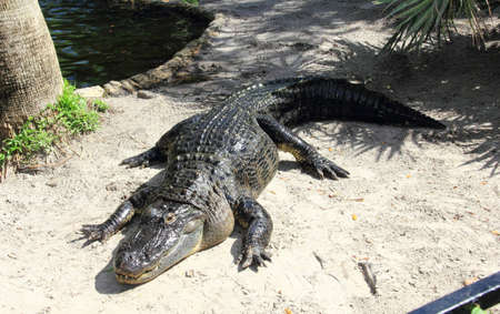 long and short scales: American alligator basking in the sun Stock Photo
