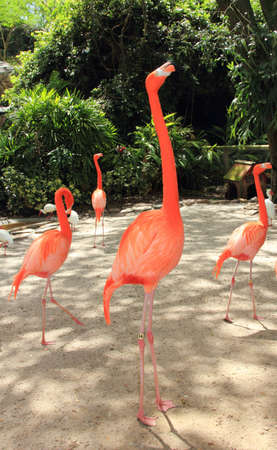 webbed legs: Flamingos standing tall in the sunshine