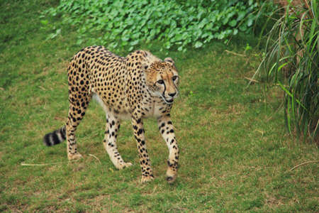 A cheetah walking in the grasslands Stock Photo - 13343157