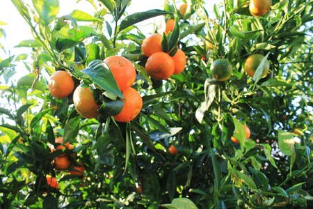 clementine fruit: Clementine Tree