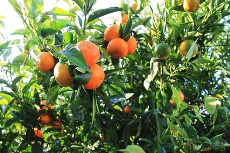 clementine: Clementine Tree