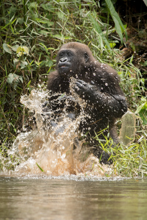 Beautiful and wild lowland gorilla in the nature habitat in Africa Stock Photo