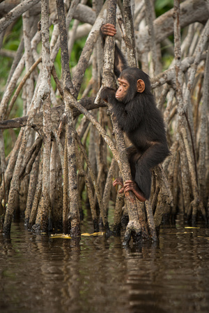 pan paniscus: Beautiful and nice chimpanzee in the nature habitat in Africa
