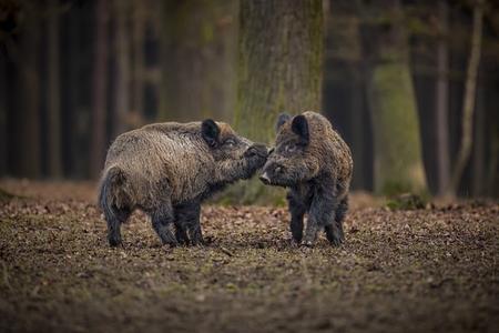 Wild boars in the European forest, Czech Republic