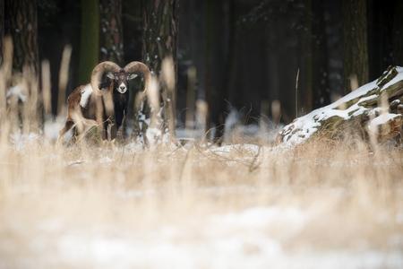rocky mountain bighorn sheep: Big European mouflon in the nature habitat, Czech Republic