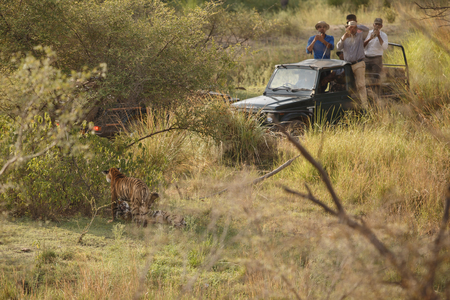 Men in four wheel drive taking taking a photo of a tiger Editorial