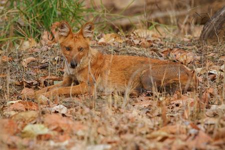 Dhole, Indian wild dog in the nature habitat Stock Photo
