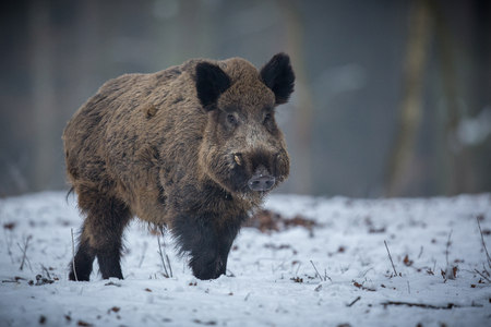 Big wild boar in the European Forest in Czech Republic