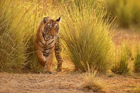 인도의 Ranthambhore 국립 공원에있는 호랑이