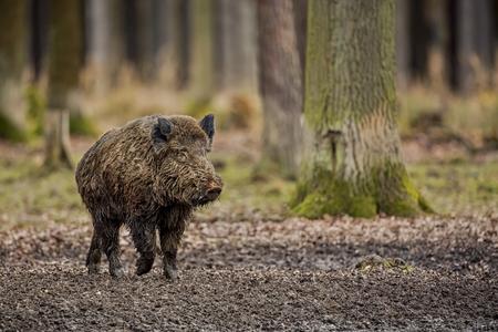 Big wild boar in the European forest, Czech Republic