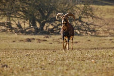 capricornio: Gran muflón europeo en el hábitat de la naturaleza