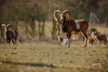 Big beautiful European mouflons Reklamní fotografie - 73163765