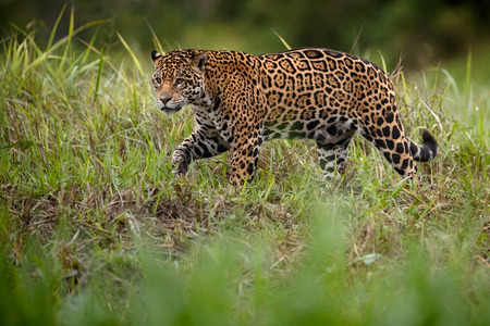 American jaguar, panthera onca in the nature habitat Stock Photo