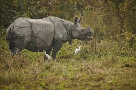 vogelspuren: Endangered Indian rhinoceros in the nature habitat of Kaziranga National Park in India