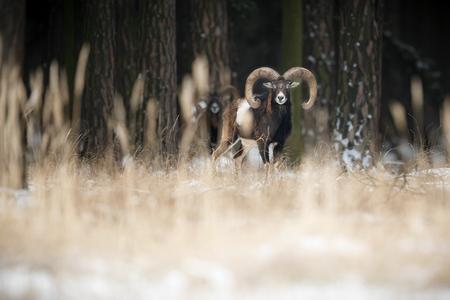 capricornio: Grandes y hermosos mouflones europeos Foto de archivo