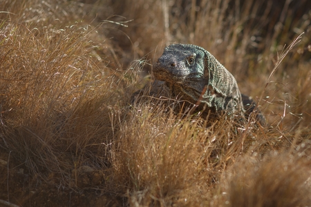 Gigantic komodo dragon in the nature habitat on a beautiful island in Indonesia Stock Photo