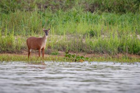 Wild swamp deer female in the nature habitat