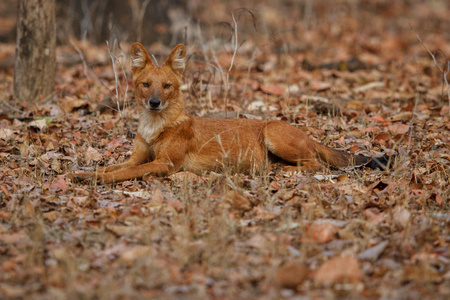 Indian wild dog, cuon alpinus in the nature habitat