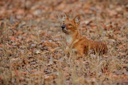 Indian wild dog, cuon alpinus in the nature habitat