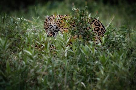 panthera onca: American jaguar, panthera onca in the nature habitat Stock Photo