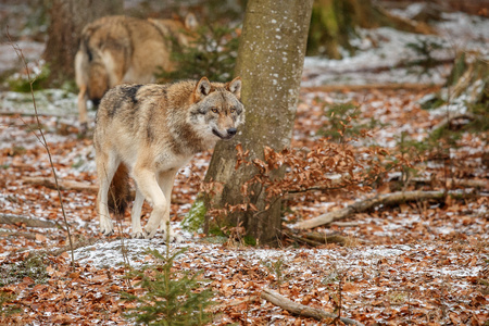 Eurasian wolf, canis lupus lupus in nature habitat of Bavarian forest, national park in Eastern Germany