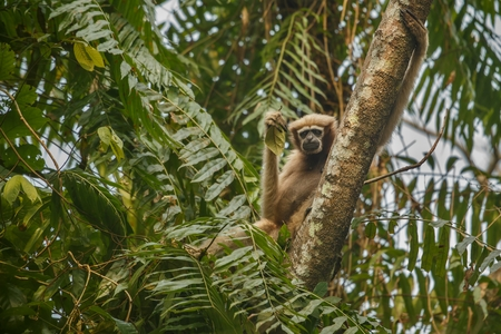 bipedal: Hoolock gibbon high on a tree in the nature habitat
