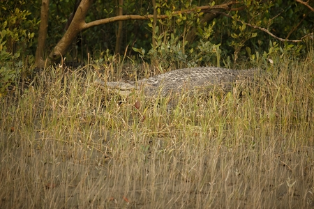 Gigantic salted water crocodile in mangroves of Sundarbans