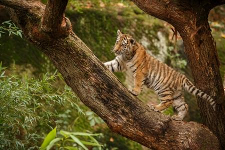 Tiger cub on a tree branch Reklamní fotografie