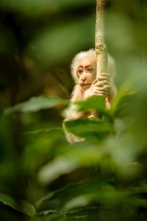 Wild capucin monkey in its natural habitat