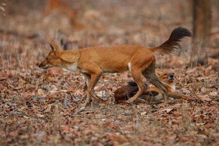 Indian dogs on dry ground