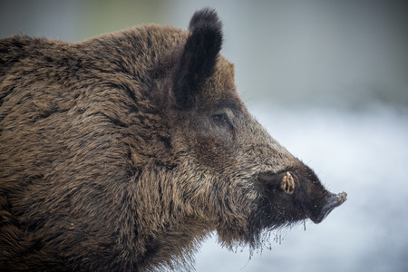 Young wild boar in the snow
