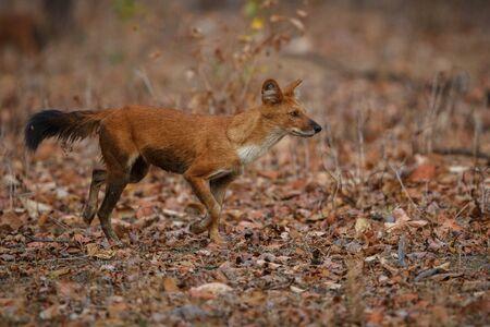 Indian dog walking on dry ground Stock Photo