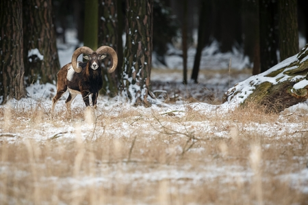 European moufflon in the forest, Czech Republic Stock Photo